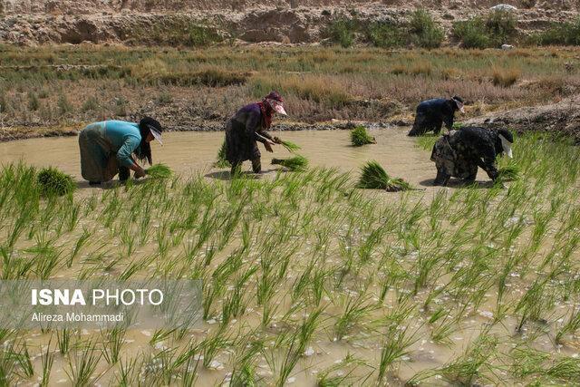 تب شالیزار در کمین کشاورزان مازندرانی