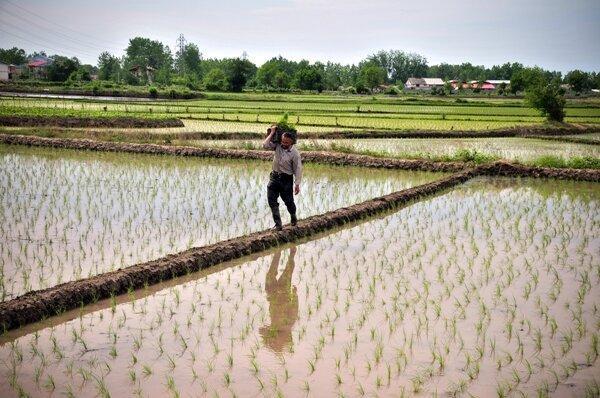 فاصله طولانی فراوری برنج گیلان با نوسازی