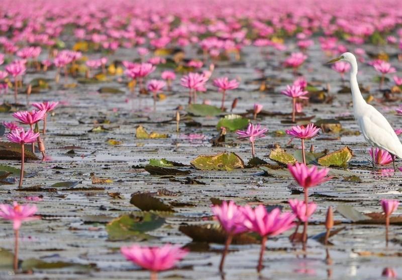 دریاچه صورتی گردشگران را به سوی خود می خواند