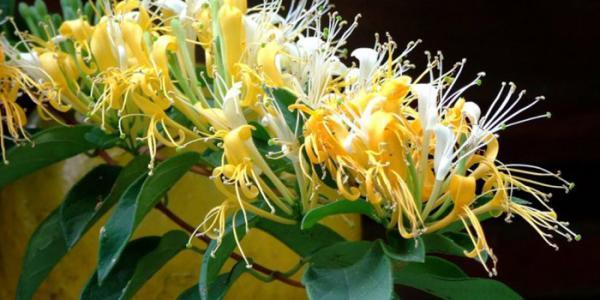 طرز تکثیر گل یاس، کاشت و نگهداری آن در گلدان