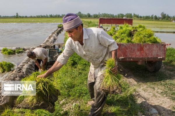 خبرنگاران افزایش 300 درصدی دستمزد نشاء برنج در مازندران