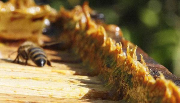 خواص بره موم عسل ، معجزه ای طبیعی برای درمان بیماری ها