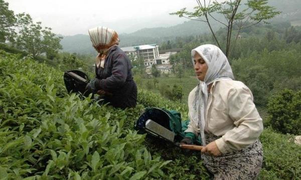 پرداخت 83 درصدی مطالبات چایکاران شمال کشور